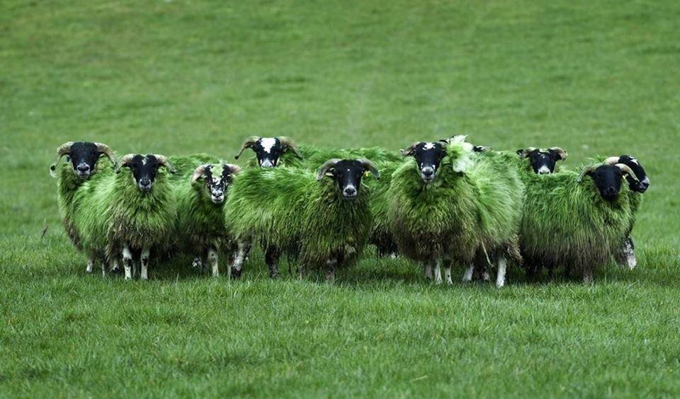 foto pecore san patrizio